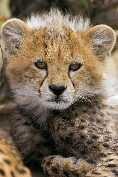 Cheetah Acinonyx Jubatus Ten To Twelve Print by Suzi Eszterhas