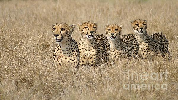 Cheetah Family Print by Mareko Marciniak