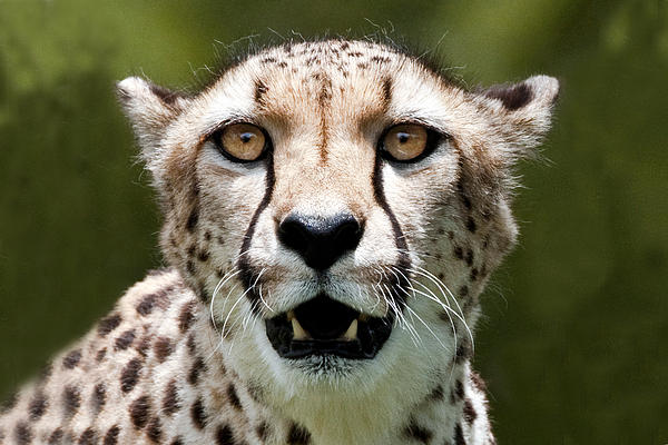 William Bitman - Cheetah Portrait