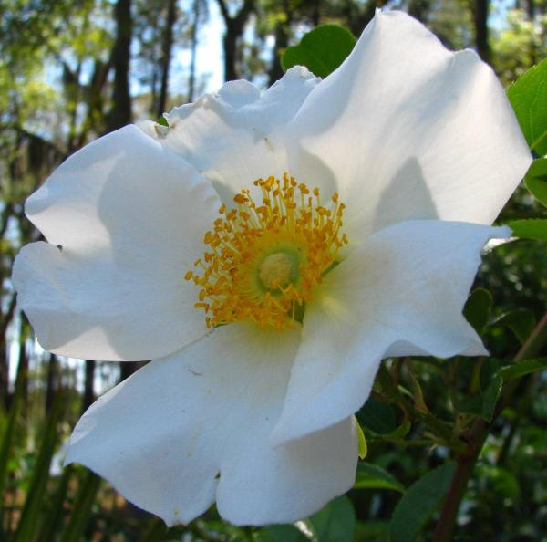 Cherokee Rose 1 By J M Farris Photography