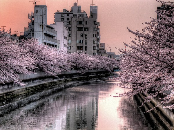 Cherry Blossom Print by Akirat2011, All Right Reserved.