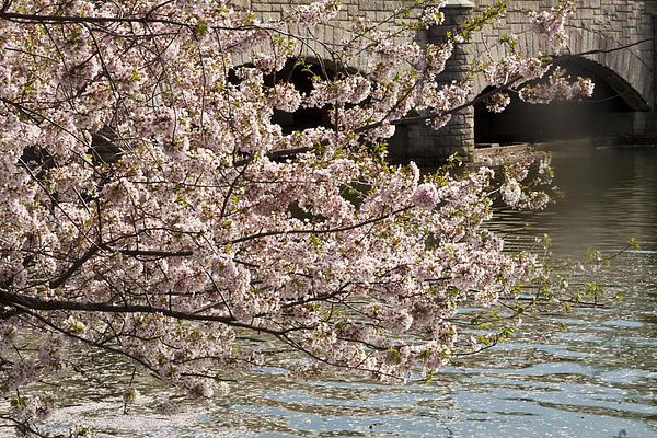 Darleen Stry - Cherry Blossom on Potomic