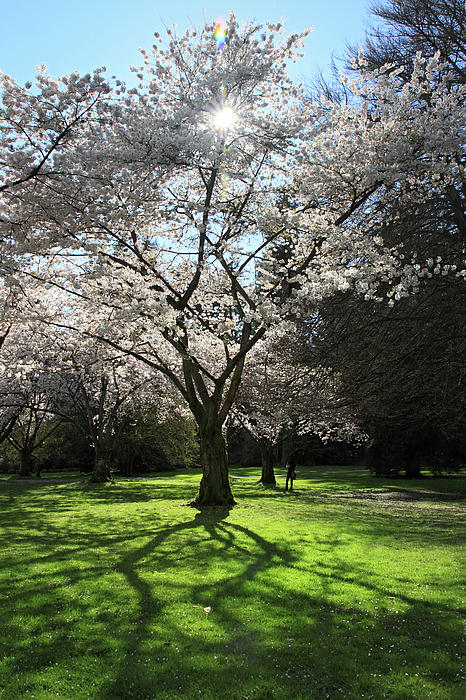 Cherry Blossom Sunshine Print by Pierre Leclerc Photography