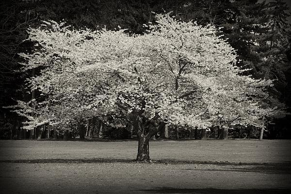 Cherry Blossom Tree - Ocean County Park Print by Angie Tirado