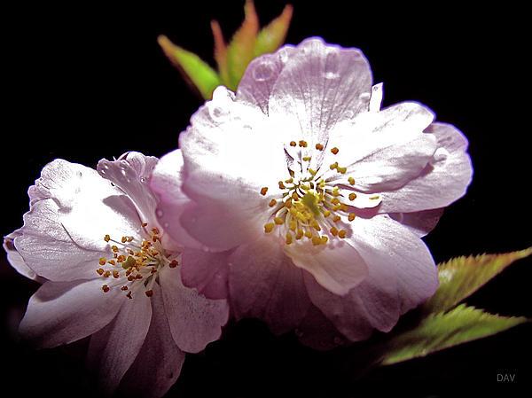 Cherry Blossoms Print by Debra     Vatalaro
