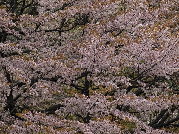 Cherry Blossoms Print by Robert Ullmann