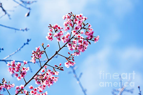 Cherry Blossoms Sakura Print by Chaloemphan Prasomphet