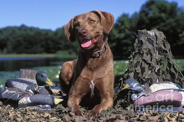 Chessie And Decoys - Fs000666 Print by Daniel Dempster