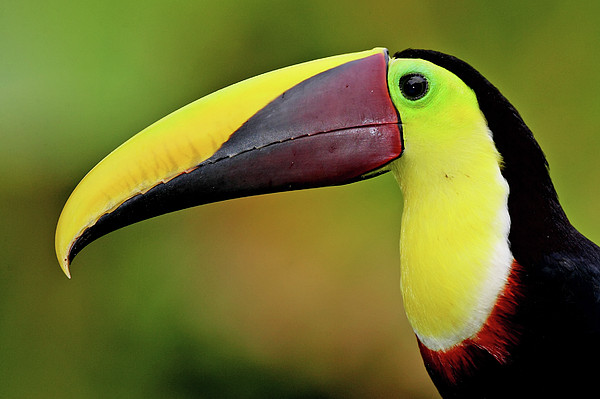Chestnut Mandibled Toucan Print by Photography by Jean-Luc Baron