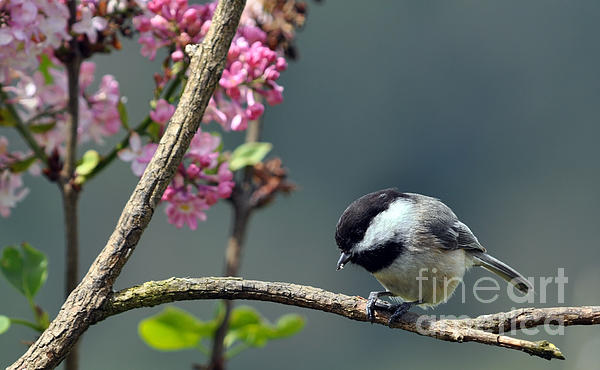 Laura Mountainspring - Chickadee With Lilac Background