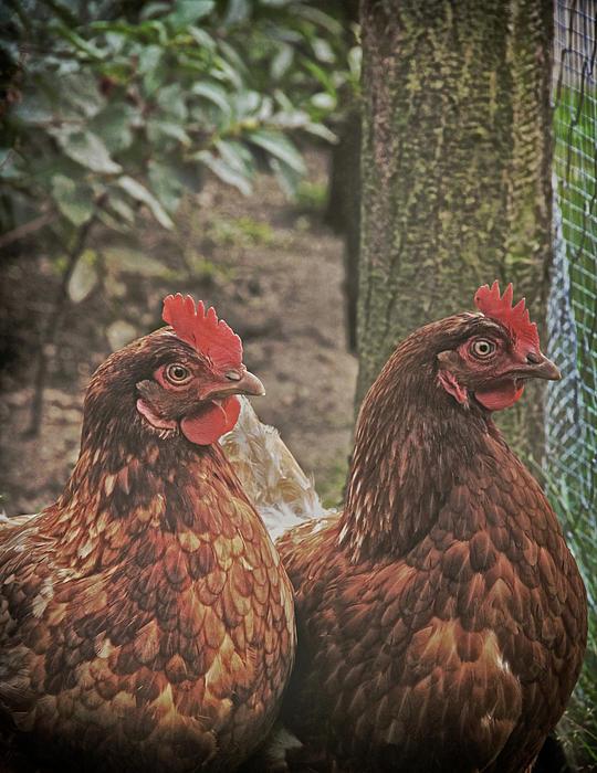 Odd Jeppesen - Chickens