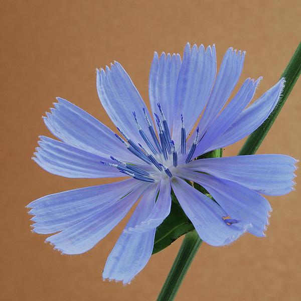 Michael Peychich - Chicory 1