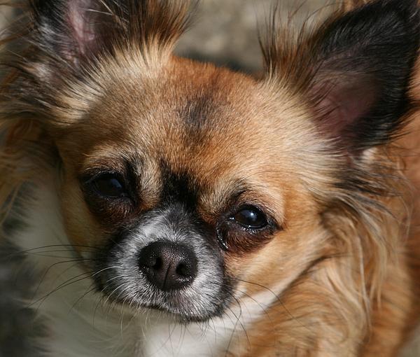 Chihuahua Eyes Print by Valia Bradshaw