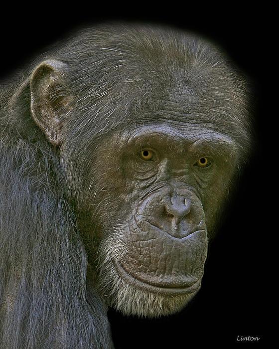 Chimpanzee Portrait Print by Larry Linton