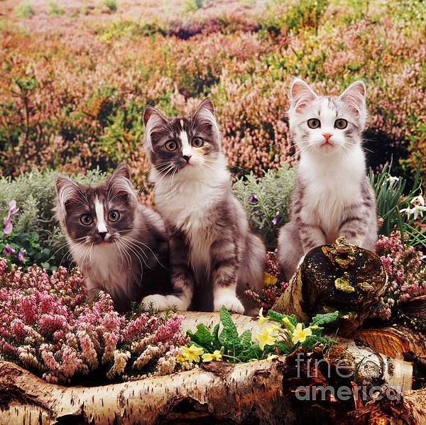 Chinchilla-cross Kittens Print by Jane Burton
