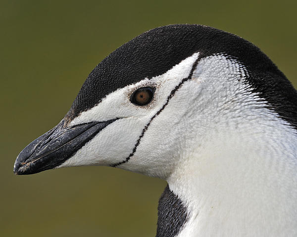 Tony Beck - Chinstrap Penguin
