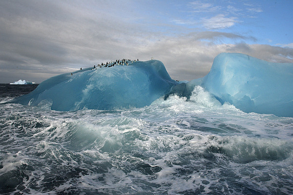 Chinstrap Penguins Rest Atop A Blue Print by Maria Stenzel