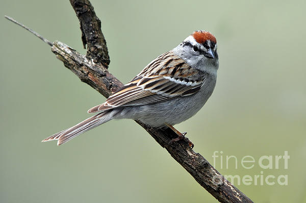 Laura Mountainspring - Chipping Sparrow