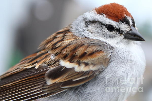 Deanna Wright - Chipping Sparrow Portrait