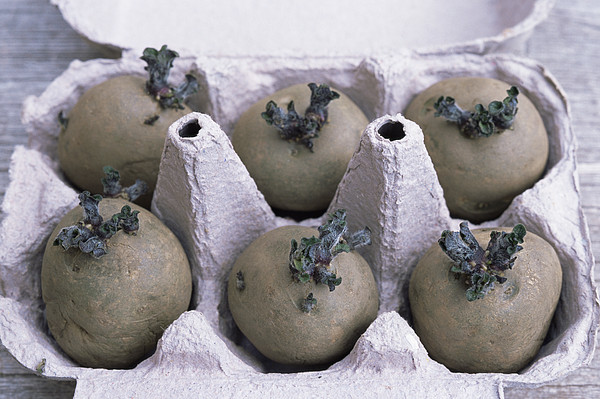 Chitted Potatoes In An Egg Box Print by Maxine Adcock