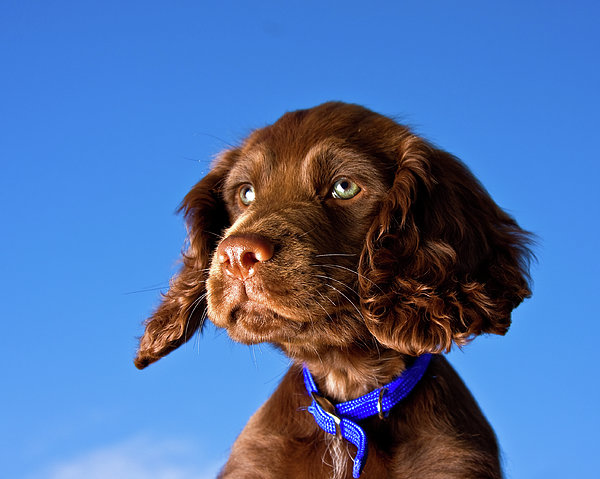 Chocolate Brown Cocker Spaniel Puppy Print by Andrew Davies