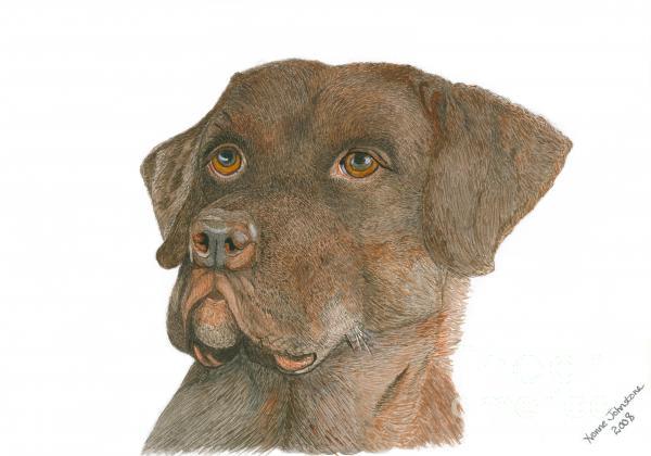 Yvonne Johnstone - Chocolate Labrador