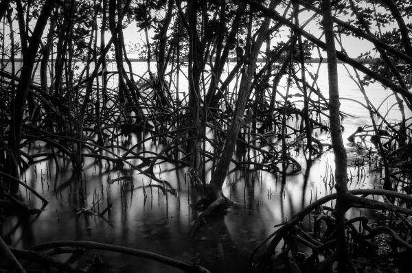 Chokoloskee Mangroves Print by Rich Leighton
