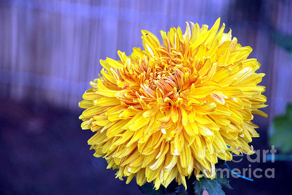 Chrysanthemum Print by Pravine Chester