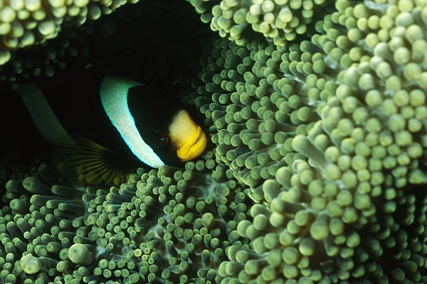 Clarks Anemonefish, Amphiprion Clarkii Print by James Forte