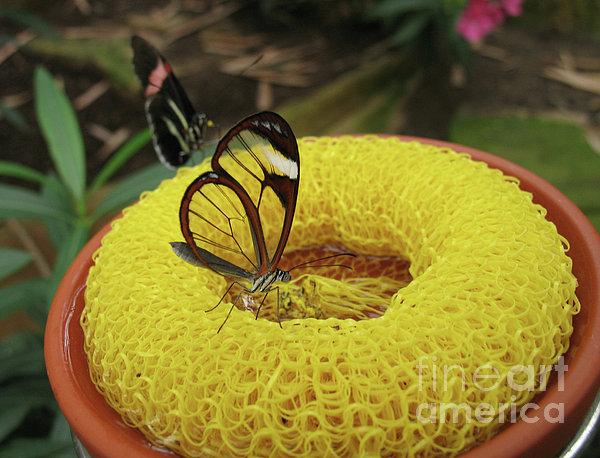 Ann Horn - Clearwing Butterfly