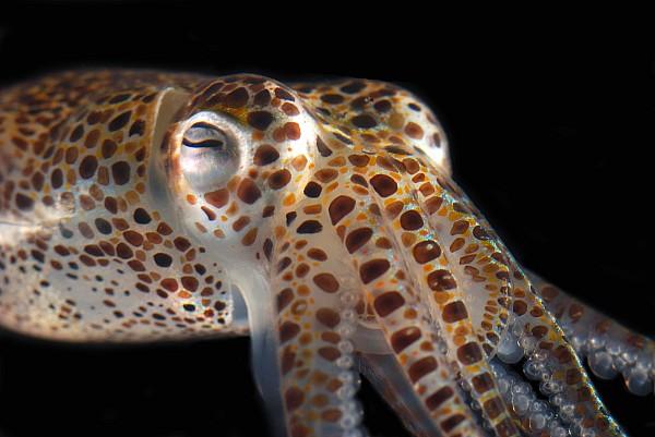 Close Up Of A Dwarf Cuttlefish, Sepiola Print by Darlyne A. Murawski