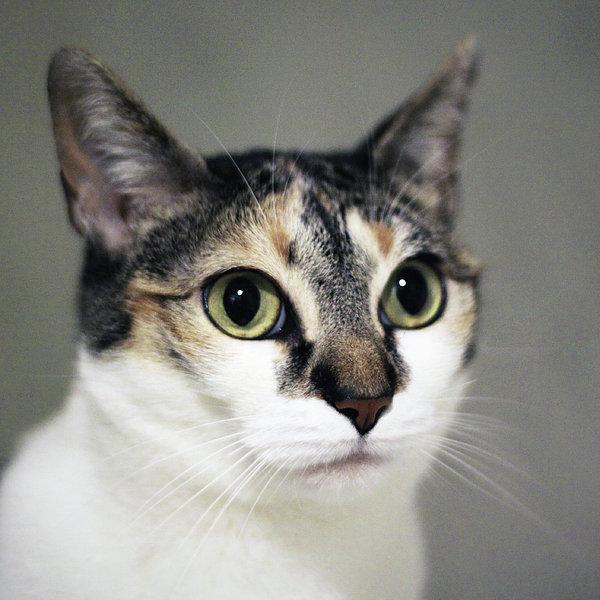 Close Up Of Cat Print by Saulgranda