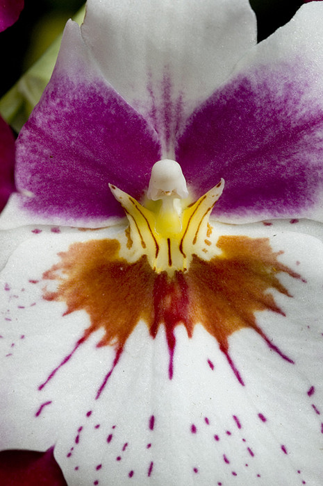 Close-up Of The Center Of An Orchid Print by Todd Gipstein