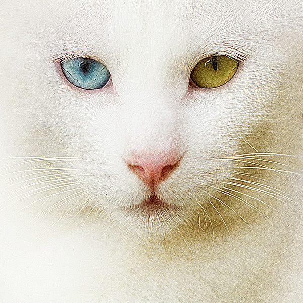 Close Up Of White Cat Print by Blink