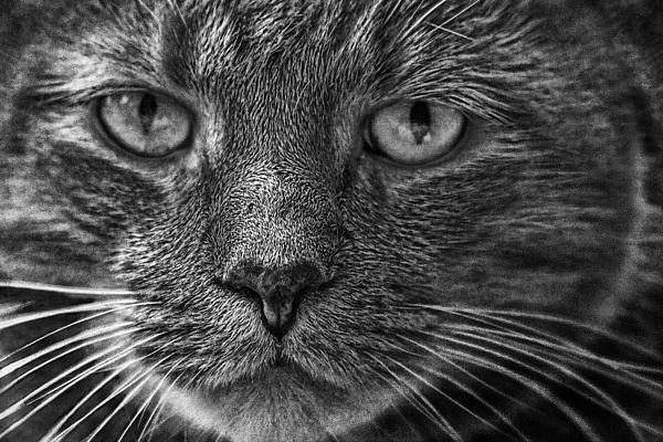 Randall Nyhof - Close up Portrait of a Cat
