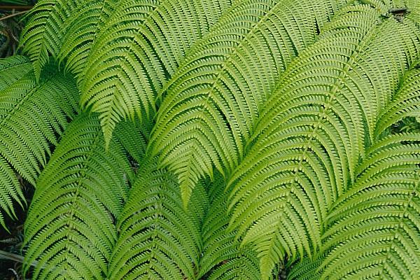 Close View Of Tree Ferns Cibotium Print by Marc Moritsch
