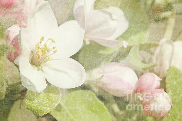 Closeup Of Apple Blossoms In Early Print by Sandra Cunningham