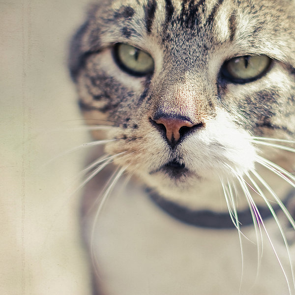Closeup Of Face Of Tabby Cat Print by Cindy Prins