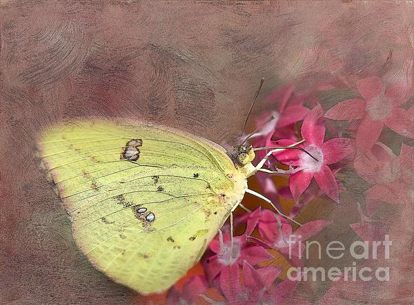 Betty LaRue - Clouded Sulphur Butterfly