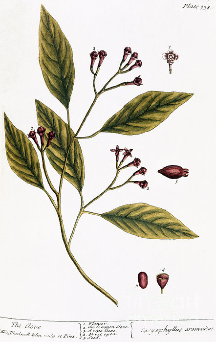 Cloves, 1735 Print by Granger