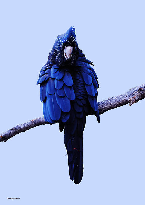 Cockatoo I Print by DiDi Higginbotham