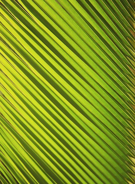Coconut Palm Print by Brandon Tabiolo - Printscapes