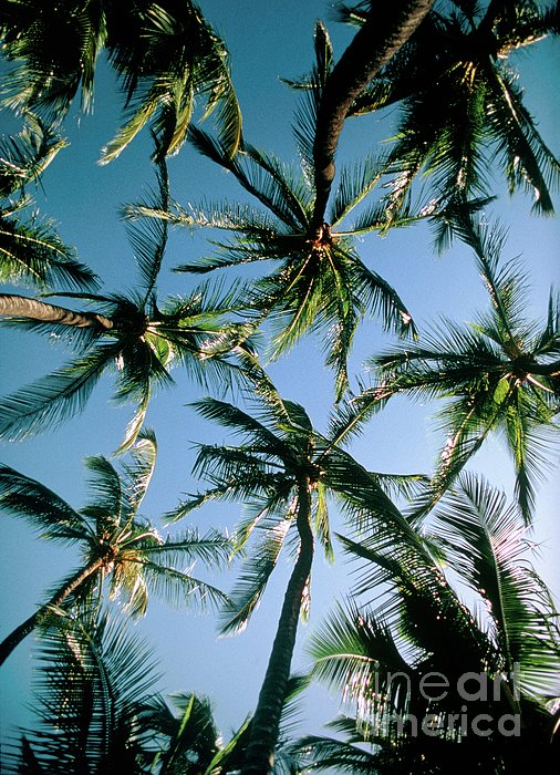 Coconut Palms Print by Magrath Photography
