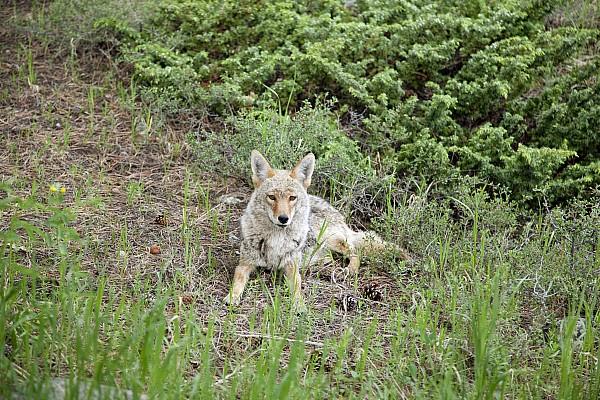 Colorado Coyote Print by Jenna Szerlag