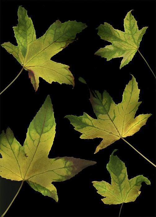 Colorful Autumn Leaves Print by Deddeda