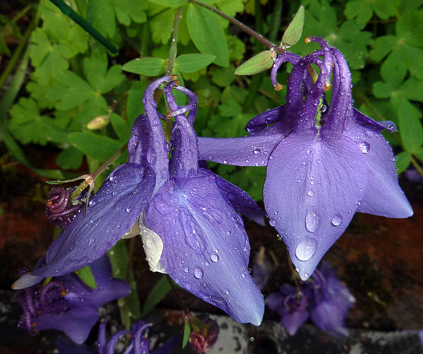 Baato   - Columbines And Raindrops