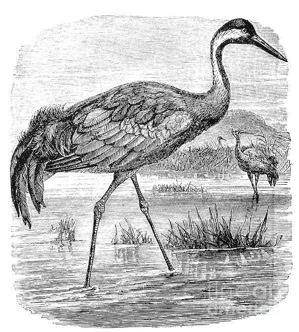 Common Crane Print by Granger