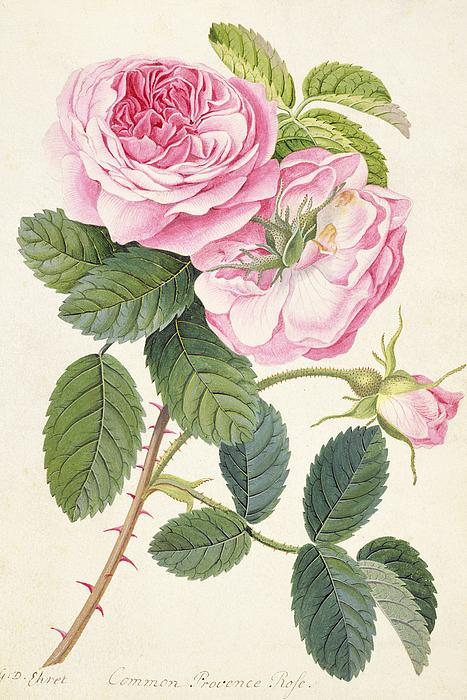 Common Provence Rose Print by Georg Dionysius Ehret