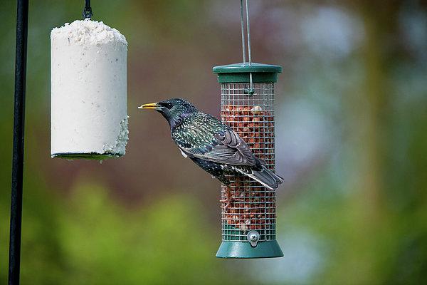 Common Starling Sturnus Vulgaris On Bird Feeder Print by Mike Powles