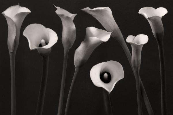 Composition With Calla Lily Print by Floriana Barbu